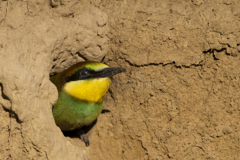 European Bee Eater Chick Portrait royalty free stock photos