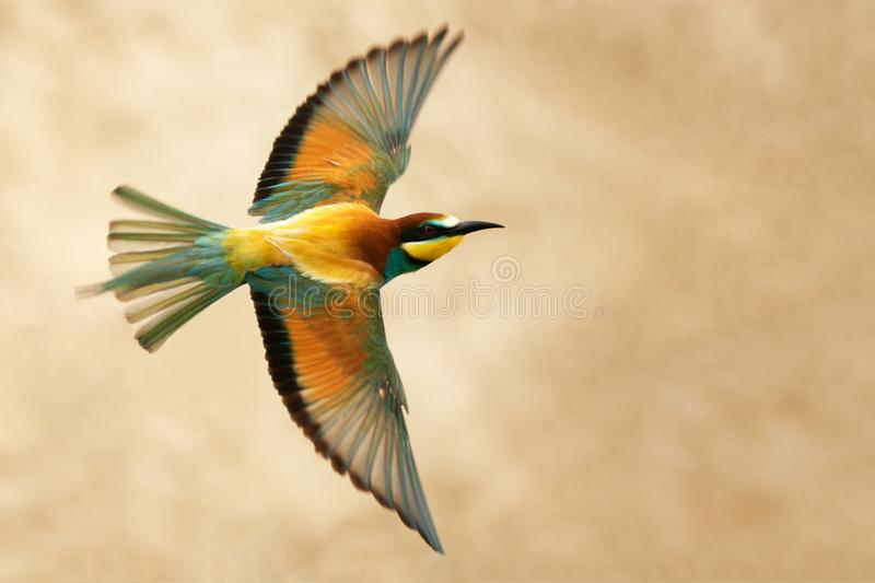 European bee-eater in flight on a beautiful background.  stock image