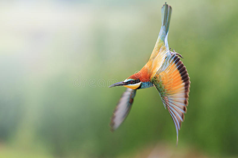 European bee-eater in flight with a green background royalty free stock image
