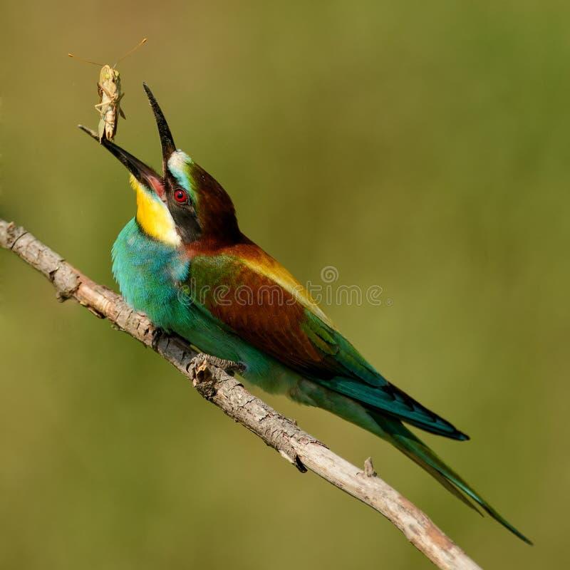 European bee-eater juggles prey stock photo