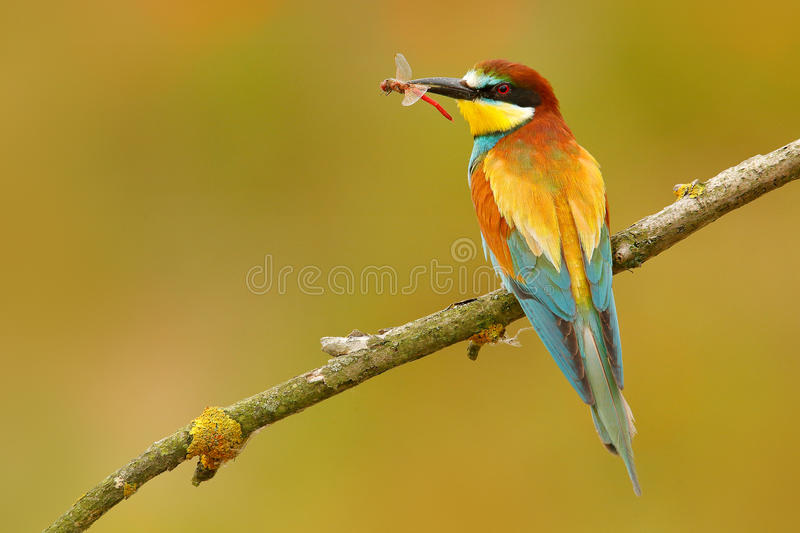 European Bee-eater, Merops apiaster, beautiful bird sitting on the branch with dragonfly in the bill. Action bird scene in the nat. Ure stock images