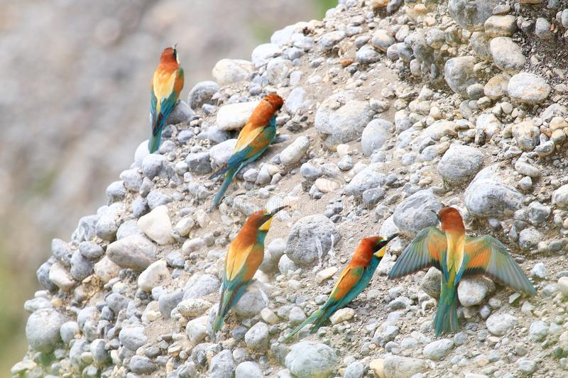 European bee-eater Merops apiaster, beautiful colorful birds. Colony on rocky slope stock image