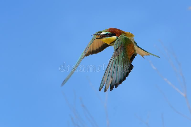 European Bee-eater Merops apiaster captured in flight with blue sky in the background. It is calling royalty free stock image
