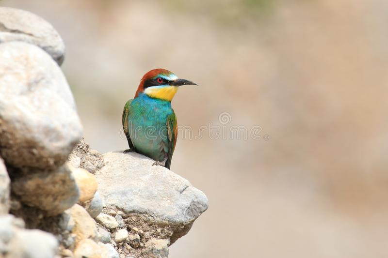 European bee-eater Merops apiaster, exotic colorful bird. On rocky slope in beautiful sunny day royalty free stock image