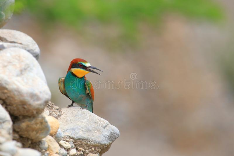 European bee-eater Merops apiaster, exotic colorful bird. On rocky slope in beautiful sunny day stock images