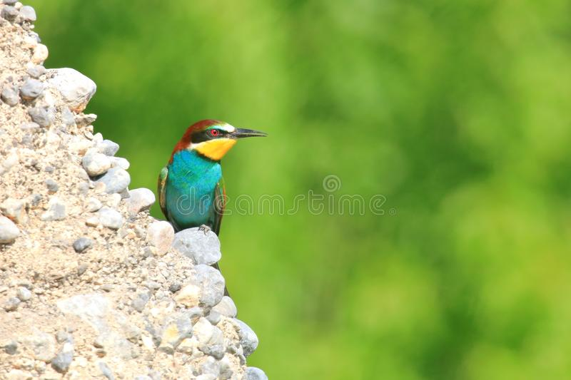 European bee-eater Merops apiaster, exotic colorful bird. On rocky slope in beautiful sunny day stock photos