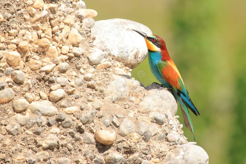 European bee-eater Merops apiaster, exotic colorful bird. On rocky slope in beautiful sunny day royalty free stock photography