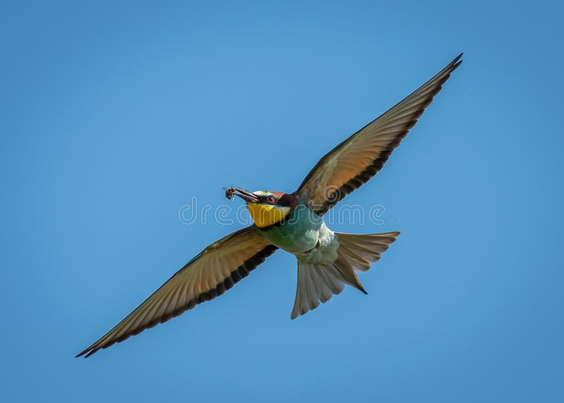 A European bee-eater Merops apiaster flying royalty free stock photography