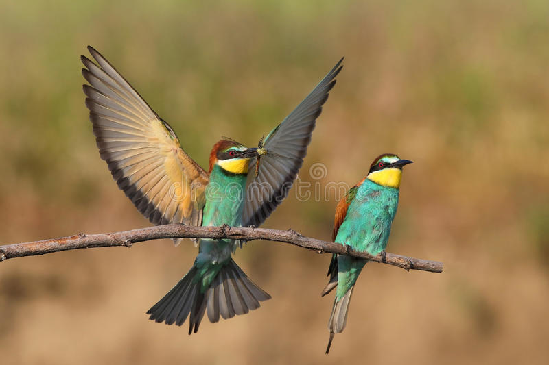European bee-eater (Merops Apiaster) in natural habitat royalty free stock photo