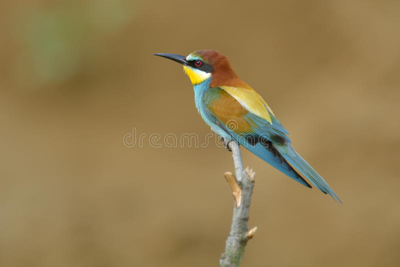 European bee-eater (Merops Apiaster) stock images
