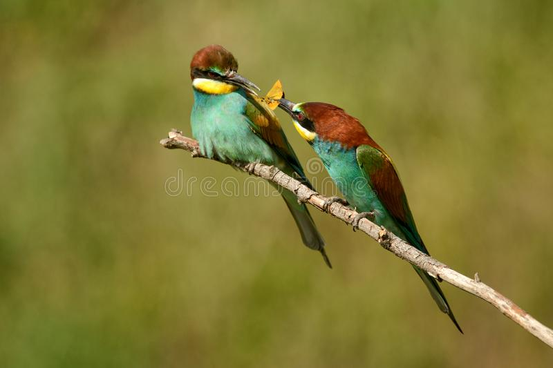 European bee-eater Merops apiaster passes food to another bee-eater royalty free stock photography