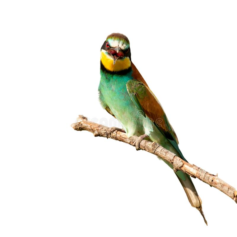 European bee-eater Merops apiaster sitting on a stick. Isolated on white stock photography
