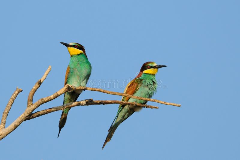 European Bee Eater (Merops Apiaster). Two bee eater on a knob stock photos