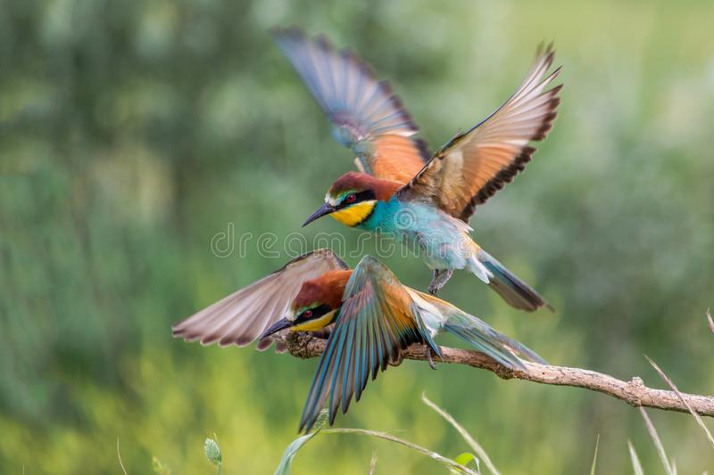 Couple of European bee-eater in flight Merops apiaster, Italy royalty free stock images