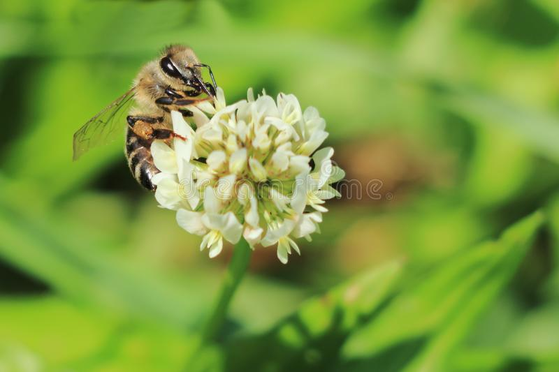 European bee or western honey bee pollinate white clover Trifolium repens flower on meadow stock photo