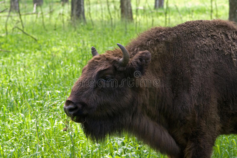 The European Bison Stock Photography