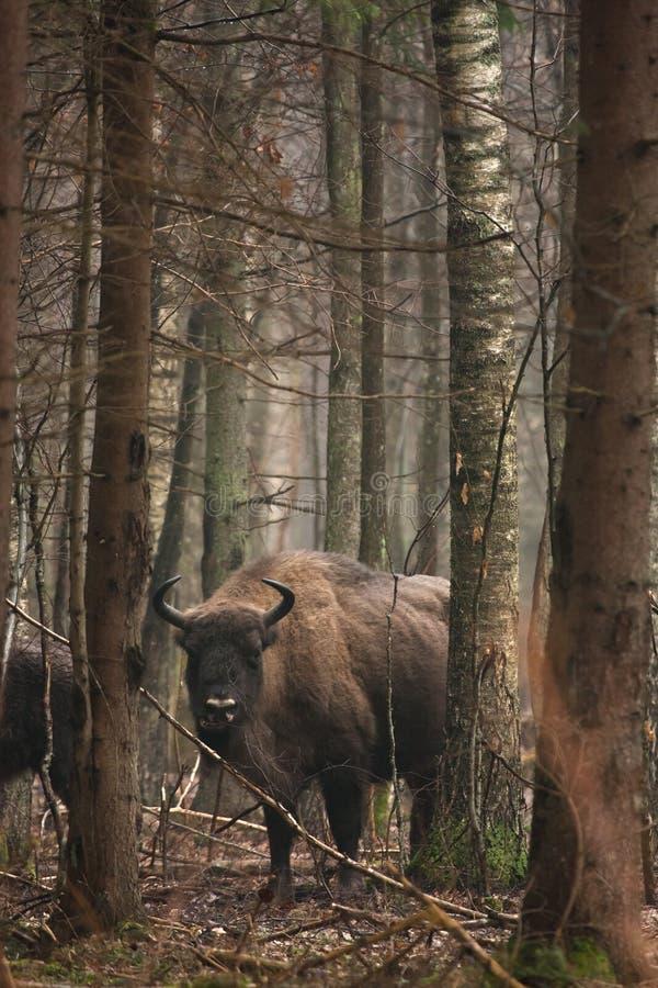 Download European Bison stock image. Image of bonasus, grassland - 20136515