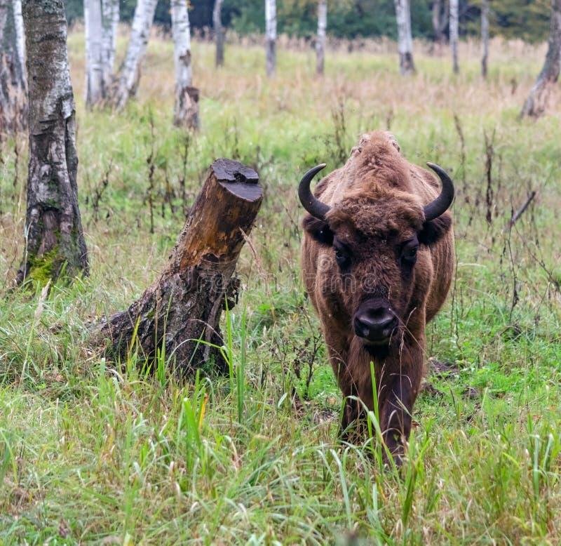 Download European bison stock photo. Image of rockies, horned - 26623528