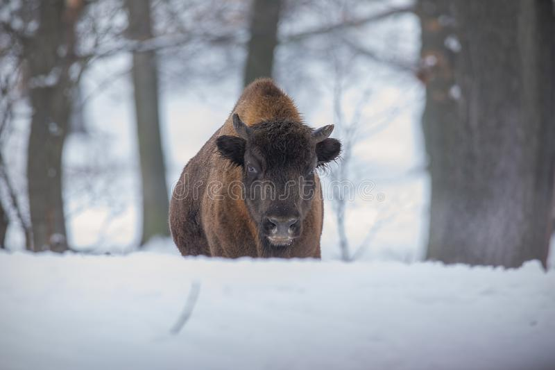 European bison, bison bonasus, in the forest with snow. Young wisnet in winter. Wildlife scenery in cold weather royalty free stock photography