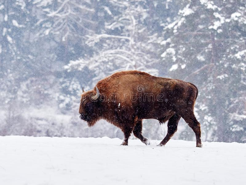 European bison Bison bonasus in natural habitat stock photos