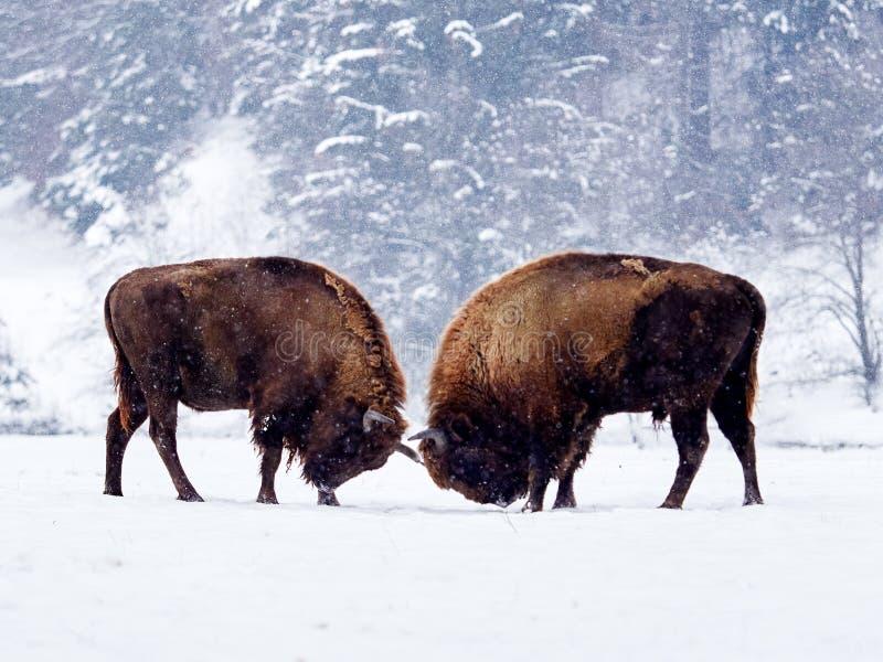 European bison Bison bonasus in natural habitat royalty free stock images
