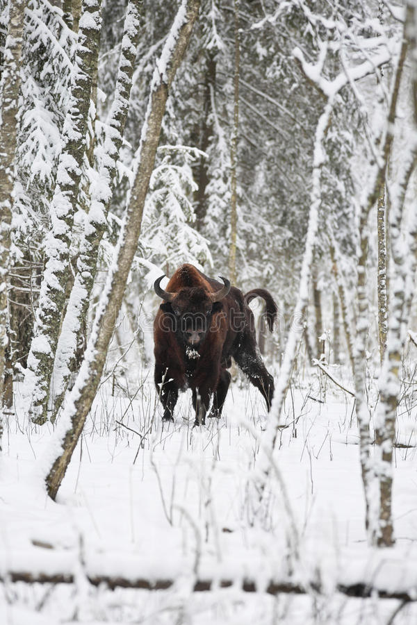 European bison. (Bison bonasus) is standing in the mixed forest of northern part of Belarus