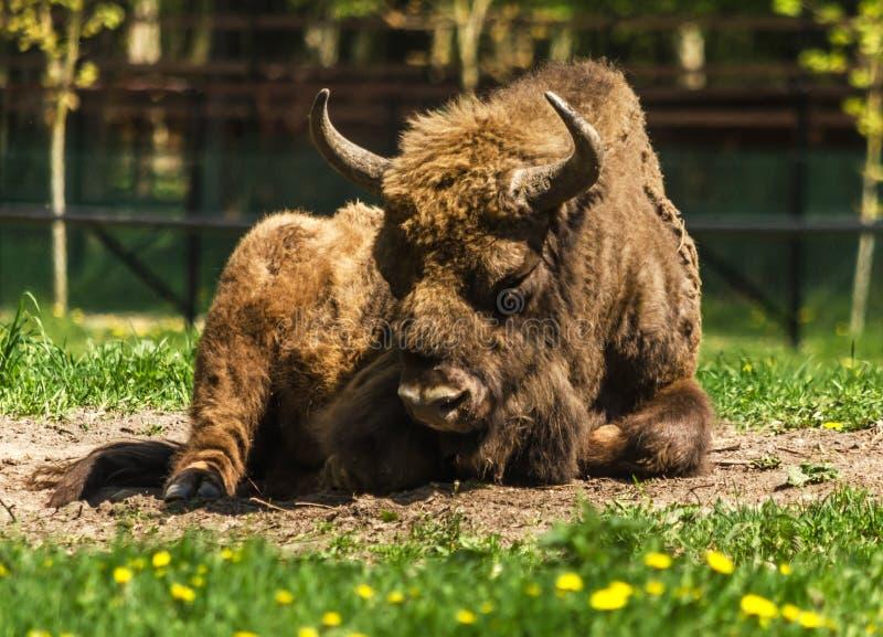 European bison bull in Bialowieza. Young European bison bull in Bialowieza, Poland royalty free stock photo
