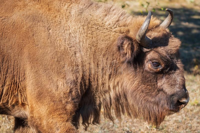 European bison. Is classified as an endangered species. European bison. Is classified as an endangered species stock photo