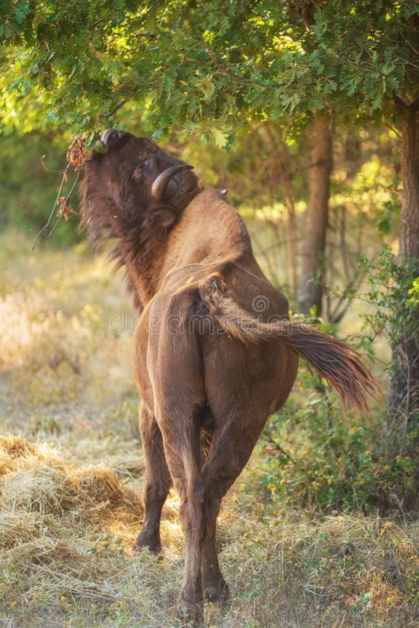 European bison. Is classified as an endangered species. European bison. Is classified as an endangered species royalty free stock image