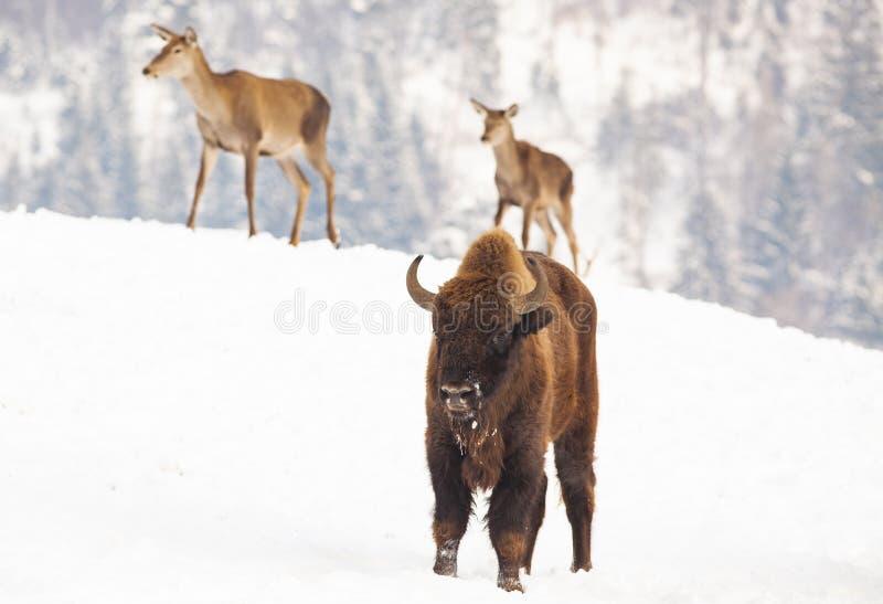 European bison and deer in winter. Wild, wildlife, park, animal, nature, male, brown, forest, outdoor, mammal, white, portrait, snow, fur, landscape stock image