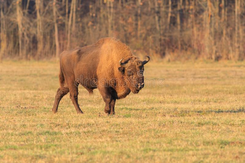 European bison royalty free stock images