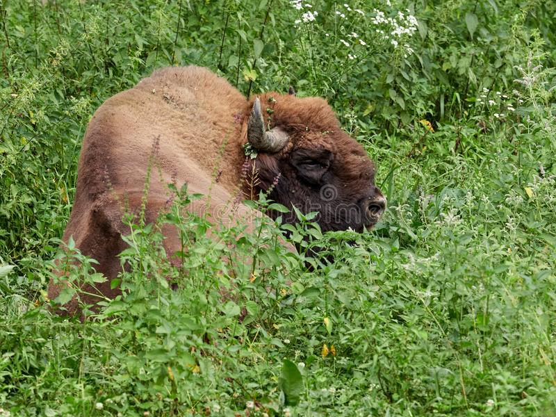 The European bison grazes on a green field with tall grass. Bison bonasus, also known as wisent or the European wood bison, is a Eurasian species of bison stock image