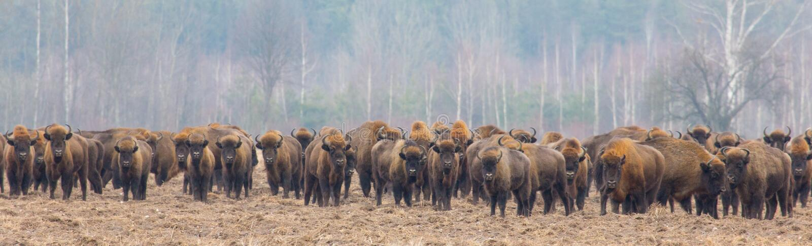 European Bison herd in snowless winter. Time against pine trees in morning royalty free stock images