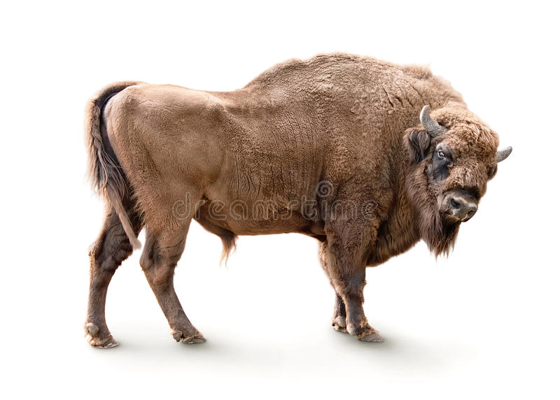 European bison isolated stock photography