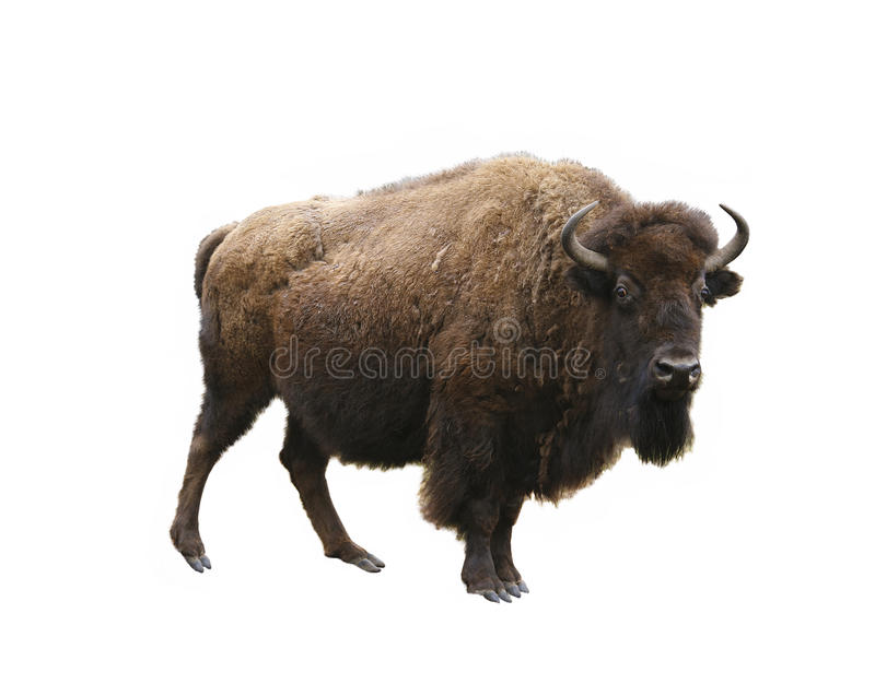 European bison isolated stock image