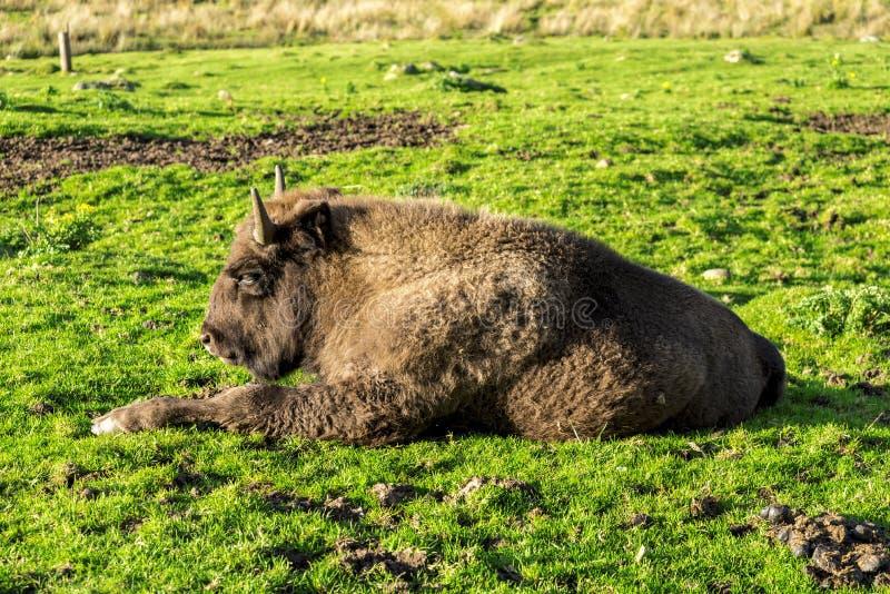 European bison lying down on green grass, Scotland. European bison lying down on green grass in a sunny day, Highland Wildlife Safari Park, Scotland stock photo