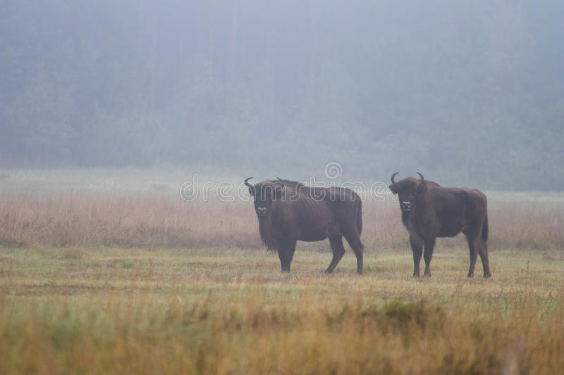 European bison in the morning fog in the forest. Wildlife photography of wild animals in the forest. Plain in the middle of the p royalty free stock images