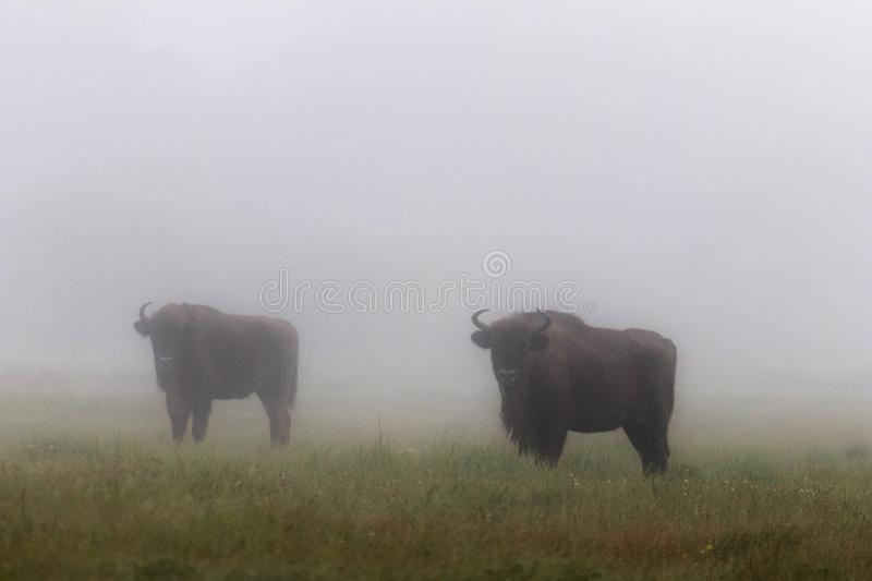European bison in the morning fog in the forest. Wildlife photography of wild animals in the forest. Plain in the middle of the p stock images