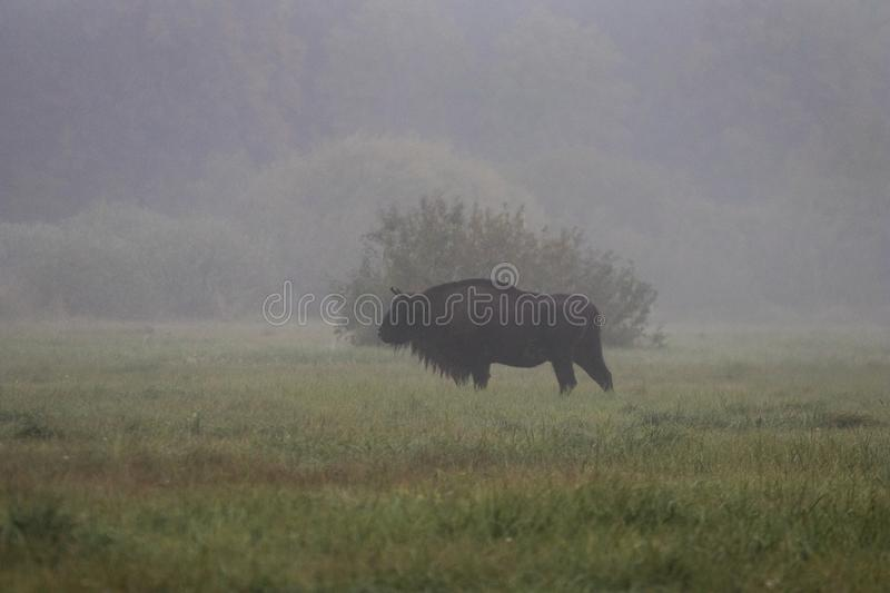 European bison in the morning fog in the forest. Wildlife photography of wild animals in the forest. Plain in the middle of the p stock photos