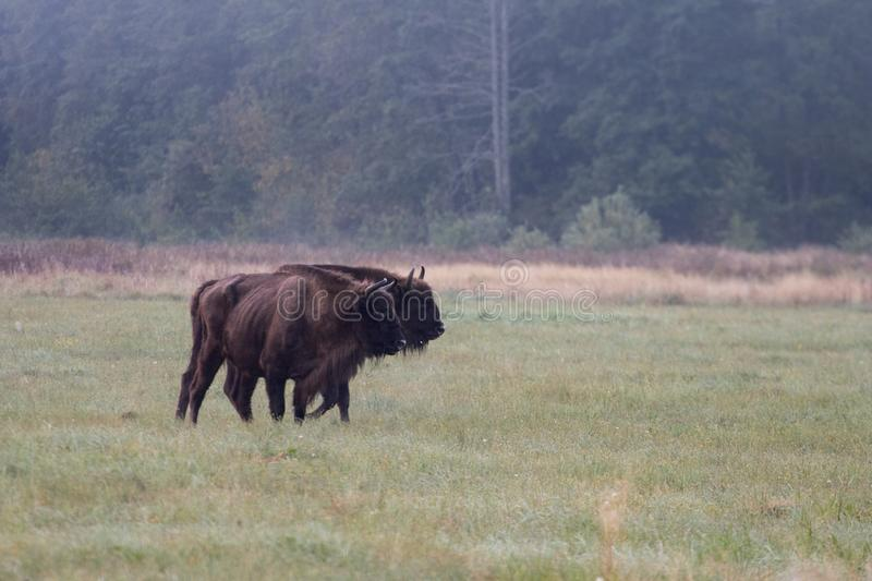 European bison in the morning fog in the forest. Wildlife photography of wild animals in the forest. Plain in the middle of the p royalty free stock photos