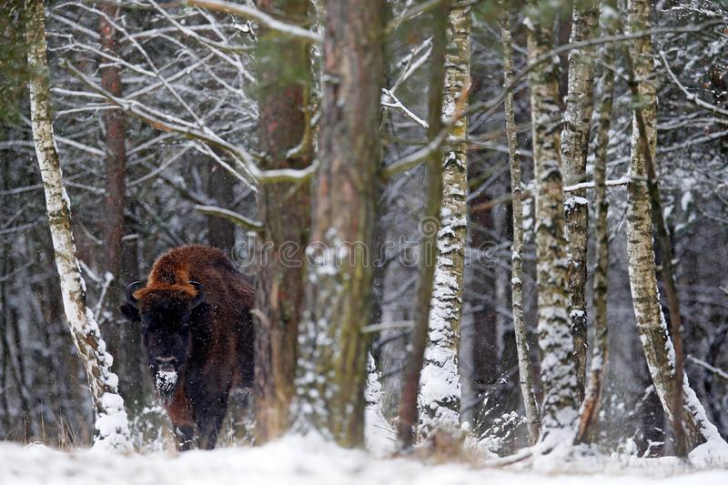 European bison in the winter forest, cold scene with big brown animal in the nature habitat, snow on the trees, Poland. Wildlife. Scene from nature. Big brown stock photo