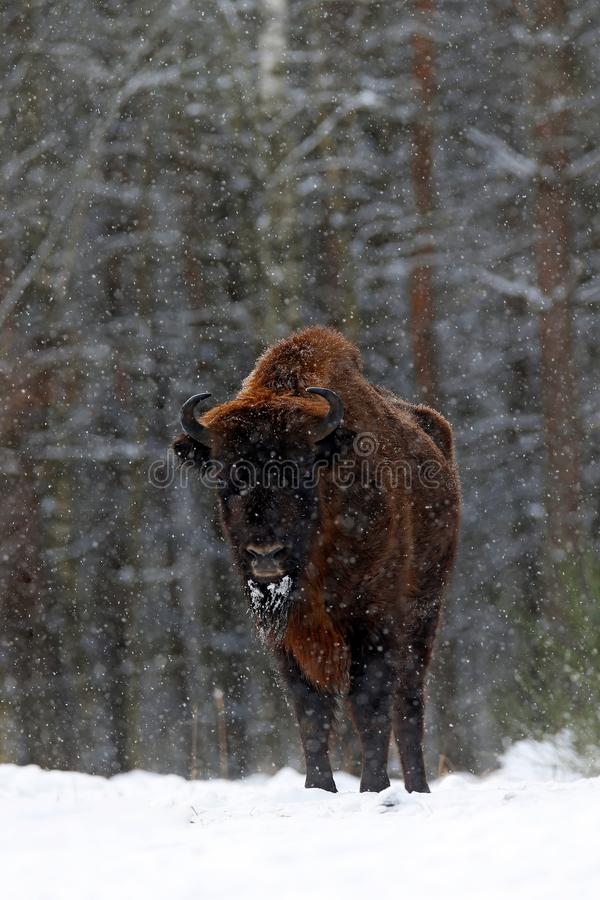 European bison in the winter forest, cold scene with big brown animal in the nature habitat, snow on the trees, Poland. Wildlife. Scene from nature. Big brown royalty free stock photo