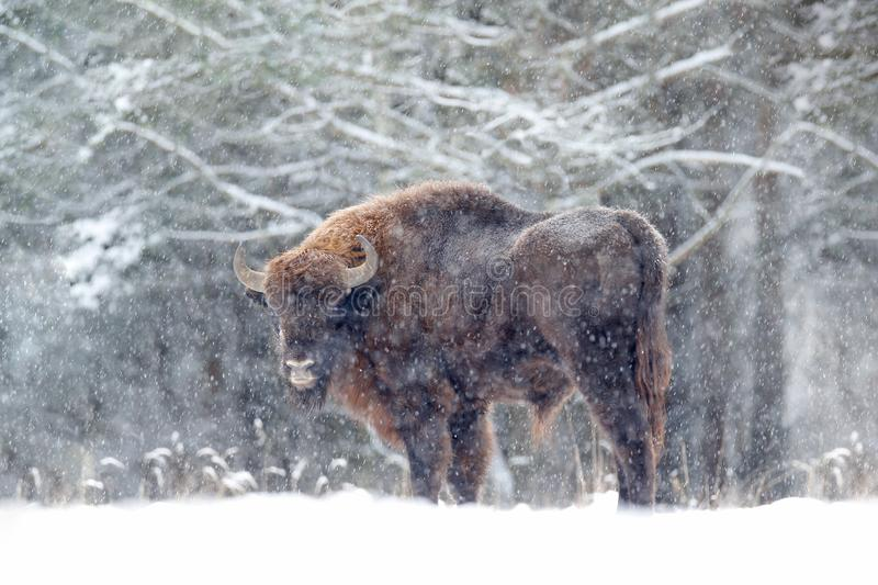 European bison in the winter forest, cold scene with big brown animal in the nature habitat, snow on the trees, Poland. Wildlife. Scene from nature. Big brown stock photography