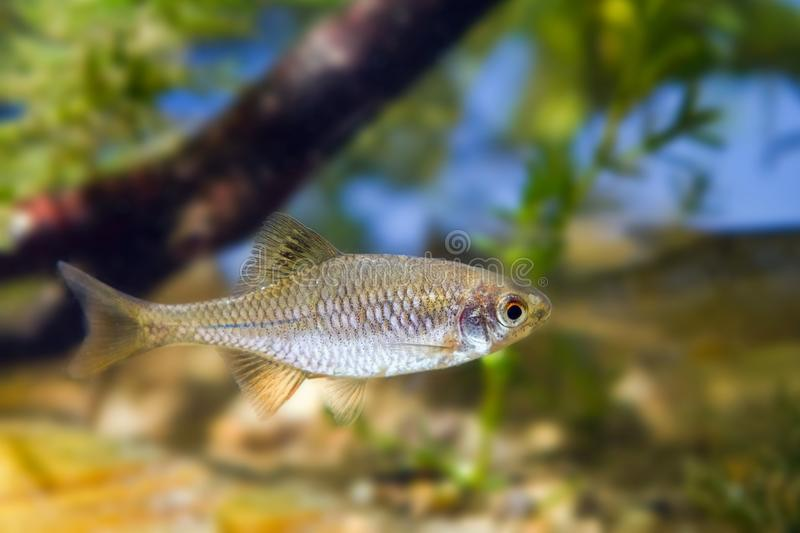 European bitterling, Rhodeus amarus, small wild freshwater adult male fish in typical moderate water biotope aquarium. European bitterling, Rhodeus amarus, small royalty free stock photos