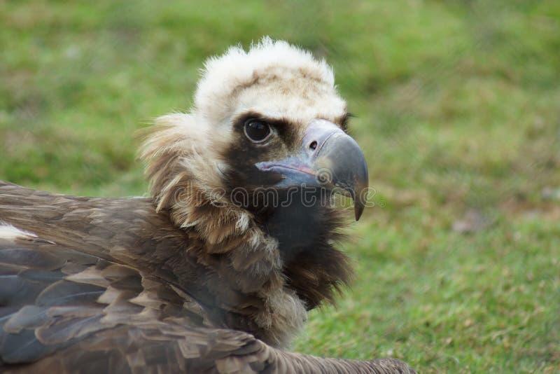 European Black Vulture - Aegypius monachus. European Black Vulture Portrait - Aegypius monachus stock photos