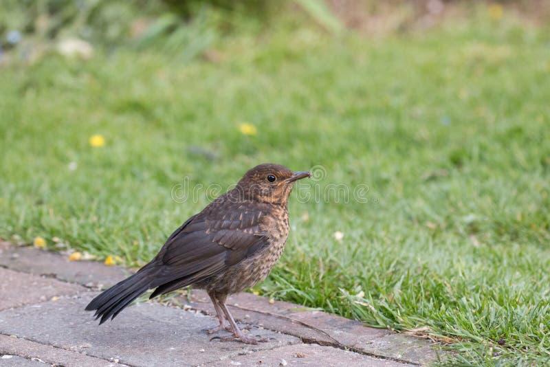 European Blackbird Fledgling in Garden. European Blackbird fledgling on path by lawn in Sussex Garden stock images