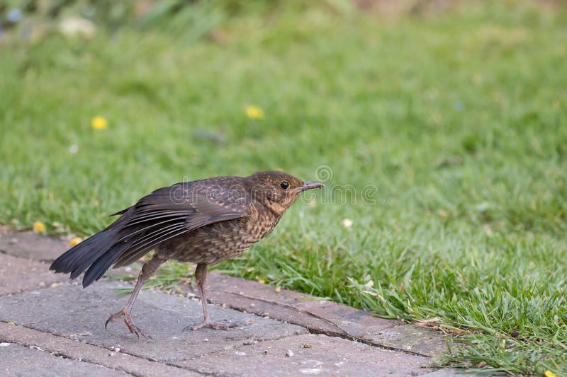 European Blackbird Fledgling Stretching its Wing. European Blackbird on garden path by lawn, stretching its wing royalty free stock images