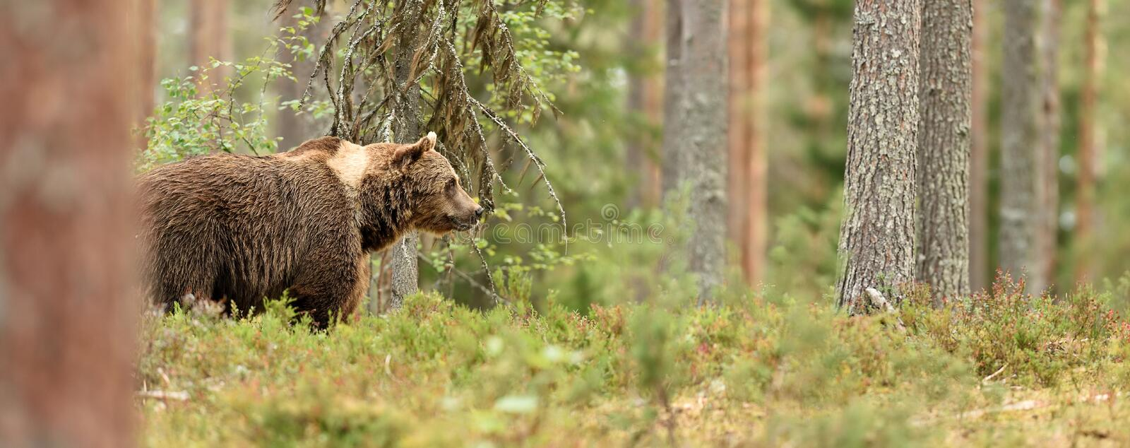 European Brown Bear Ursus arctos in the summer forest. Big male brown bear in natural habitat stock image