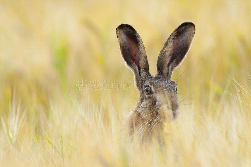 European brown hare on agricultural field in summer. European brown hare, Lepus europaeus, on agricultural field in summer, Germany stock image