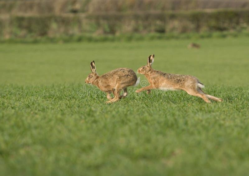 European brown hare (Lepus europaeus) chasing fema royalty free stock photo